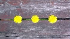 three happy dandelions