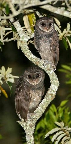 Watchful owls