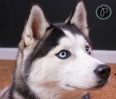 "Pamela said, ""My daughter's beautiful Siberian Husky, Gixzer. | Photo by Pamela Bevelhymer"""