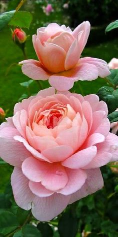 Queen Rose Hybrid Tea Rose  'Alpine Sunset Sweet Moon Rose  Sweden Roses