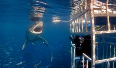 Diving with nature's apex predator...the Great White Shark! What a beaute