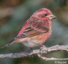 The feeders wouldn't be the same without these little guys - Purple Finch stopping by.