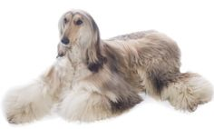Afghan Hound dog breed - Temperament - What's Good & Whats Bad.....like I don't know