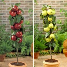 GoldenDelicious and Braeburn 2 Patio Apple Trees Buy Fruit Trees, Patio Fruit Trees, Fruit Garden, Trees To Plant, Plum Varieties, Pick Your Own Apples, Gardening Direct, Bonsai Tree Types, Plum Tree
