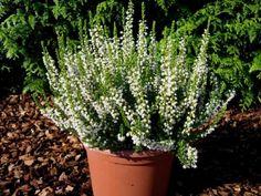Jednoduchá rada, s ktorou vám vresy nevymrznú ani pri mínus 20: Stačilo urobiť toto a kvitnú aj pod snehom! Plants, Gardening, Inspiration, Forks, Compost, Lawn And Garden, Biblical Inspiration, Bobby Pins, Plant