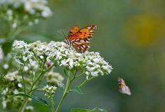 Texas Parks and Wildlife  Are you noticing lots of butterflies? We're seeing plenty enjoying the frostweed near our headquarters in Austin. — Fall Butterflies