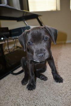 Lab Greyhound Pit Mix Black lab hound mix lab pit