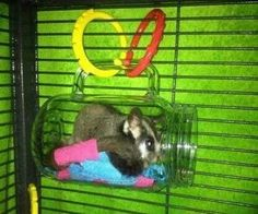 Make a cozy resting spot for your sugar glider! Get a plastic mason jar or other large lightweight cup that has a handle. Hang the cup sideways in your sugar glider's cage using two plastic link rings Sugar Glider Care, Sugar Glider Pouch, Sugar Glider Toys, Degu, Pet Mice, Pet Rats, Hamsters, Rodents, Animales