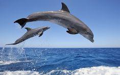 Bottlenose Dolphins Dive Background http://windowsdesktopbackgrounds.com/24493/bottlenose-dolphins-dive-background.html