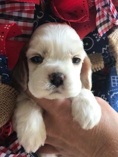 Baby Puppies, Cute Puppies, Cute Dogs, Dogs And Puppies, Cocker Spaniel Breeds, American Cocker Spaniel, Animals And Pets, Baby Animals, Cute Animals