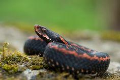 Caucasus Viper (Vipera kaznakovi). Simply beautiful snakes. Photo by Christoph Riegler.