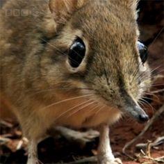 One of my favorite bits of LIFE footage, rufous sengi (or elephant shrew) on the run set to Alex Smith's Aphid Frenzy.
