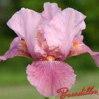 Iris : STRAWBERRY LOVE