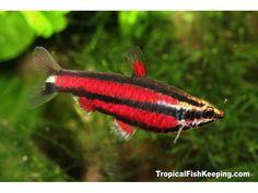 Purple Dwarf Pencilfish (m) Scientific Name: Nannostomus rubrocaudatus