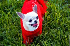 """Купить Пончо для собачки """" Амели """" - ярко-красный, пончо, пончо вязаное"""