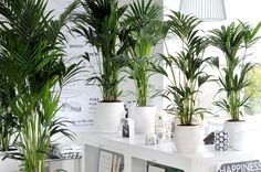 The Kentia Palm, also known as Howea, is Houseplant of the month of January. Green Plants, Potted Plants, Palm Plants, Indoor Tropical Plants, Belle Plante, Pot Plante, Room With Plants, Plant Information, Palmiers