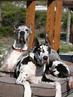 #Great #Danes, Love them!  I love these dogs!  It's like having a perpetual 3-year-old!  They are so intelligent, loving, gentle, and such great companions!