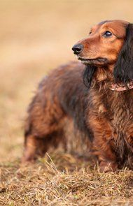Dachshund Dog Breed Information Pictures Characteristics Facts Loyal Dog Breeds Dog Breeds Dogs