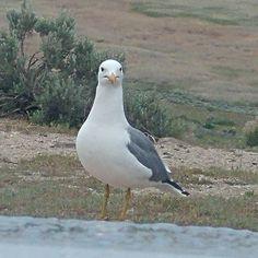 Standing Proud #seagull #travel #utah #nature