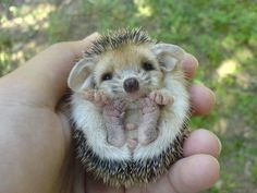 Hedgehogs apparently have adorably squishy feet as babies!