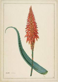 Aloe arborea by Georg Dionysius Ehret at Royal Horticultural Society Botanical Tattoo, Botanical Drawings, Botanical Flowers, Botanical Art, Vintage Botanical Prints, Vintage Prints, Plant Illustration, Botanical Illustration, Cactus Y Suculentas