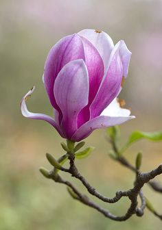 Pink Magnolias | Flickr - Photo Sharing!