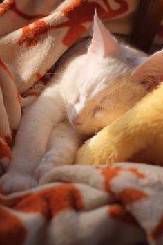 cat ふわふわですやすや。。。の画像:ねこごち