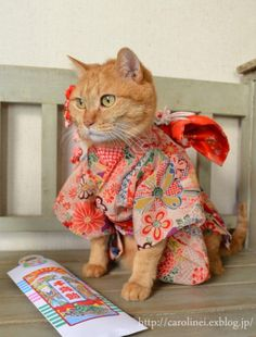Apelila, a gorgeous orange tabby from Tokyo, Japan, models beautiful handmade kimonos and yukatas made by her owners, Caroline and Laura.