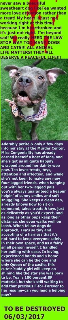 MURDERED 06/02/2017 --- Manhattan Center  My name is TEA. My Animal ID # is A1113516. I am a spayed female gray pit bull mix. The shelter thinks I am about 5 YEARS old.  I came in the shelter as a STRAY on 05/29/2017 from NY 10456, owner surrender reason stated was STRAY.  http://nycdogs.urgentpodr.org/tea-a1113516/