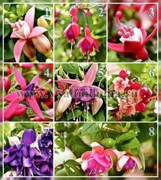 Выращивание фуксий–сорта и виды, посадка и размножение | Сайт о саде, даче и комнатных растениях.