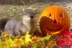 It's the Daily Otter's Halloween 2017 Mega-Post! — The Daily Otter River Otter, Sea Otter, Otters Cute, Otter Love, Baby Friends, Sea Dweller, Halloween 2017, Under The Sea, Dolphins
