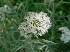 Flor de la valeriana.