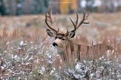 Trophy, non-typical, Buck Mule Deer, fall snow, Jackson Hole Wyoming  © Daryl L. Hunter - The Hole Picture