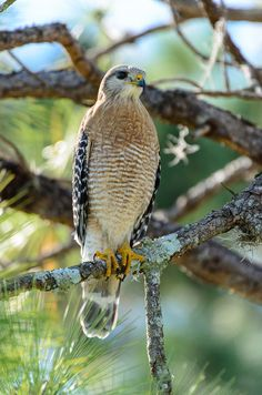 """land-of-the-animals: Red Shouldered Hawk(Buteo lineatus) by Camron Flanders. Males are 15 to 23"""" long and weigh on average 1.21 lb. Females are slightly larger at 19 to 24"""" in length and a mean weight of 1.5 lb. They have very sharp vision and reasonably good hearing, with talons capable of killing animals at least equal to their own size."""