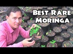 Best Moringa to Grow & Rare Herb Nursery Tour Vine Fruit, Fruit Bushes, Fruit Trees, Natural Multivitamin, Plant Nursery, Healing Herbs, Growing Herbs, Green Life, Leaf Shapes