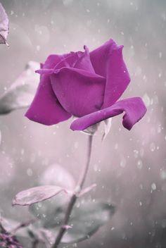 Purple                                                       … …