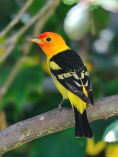 Western tanager, these used to nest on the sagebrush hillside behind the lodge, college summers working at the Idaho Rocky Mountain Ranch in the Sawtooth Valley. Stunning!