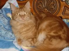Rosa del deserto Virginia, Maine coon girl Virginia red tabby.