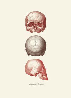 Vintage Human Anatomy Skull   L'anatomie Humaine by OrangeTail, $14.00