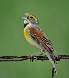 Dickcissel - The dickcissel is a small American seed-eating bird in the family Cardinalidae. It is the only member of the genus Spiza, though some sources list another supposedly extinct species.