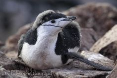 Chinstrap Penguin (Pygoscelis antarctica) Juvenile losing its down, Booth Island, Antarctica by Christophe Gouraud