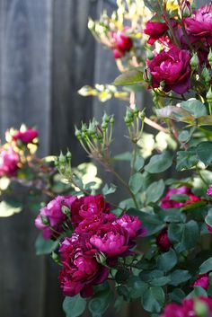 Cardinal Hume - very very easy to grow low shrub with apple-scented clusters of deep red blooms.