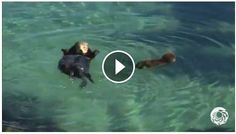 We promise this SUPER CUTE baby otter will make your heart melt!