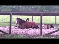 座って休んでいる馬の背中に登って遊ぶ赤ちゃんヤギ - http://naniomo.com/archives/6663