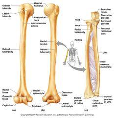 stock-vector-radius-human-right-radius-bone-detailed-medical ...