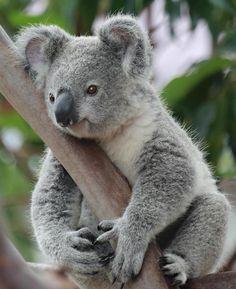Koalas                                                                                                                                                     Más