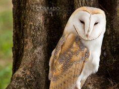 Barn Owl by Corrado Orio on 500px