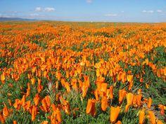 California Poppy Garden Designs,california poppy in full blooming,Flowers Garden Design,Poppy California Mixed Colors