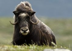 Myskoxe, Dovrefjäll, Sweden - Myskoxe means musk ox and the wild musk ox was extinct in Sweden (and the rest of Europe) for a long time. After being restocked in the Norwegian mountains in the late 40's, five musk oxen wandered over to Sweden in the early 70's and stayed. In March of 2000 the flock had 12 animals and they are the property of the Swedish state.