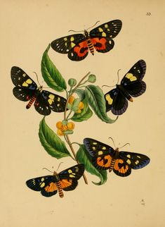 The cabinet of oriental entomology : being a se...